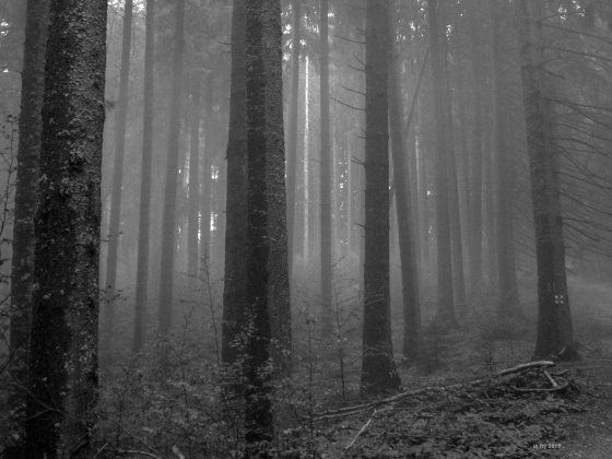 forest pine trees trunks black and white foggy surreal
